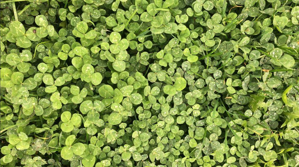 A field of clover.